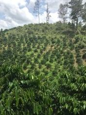 Coffee Plantation 2